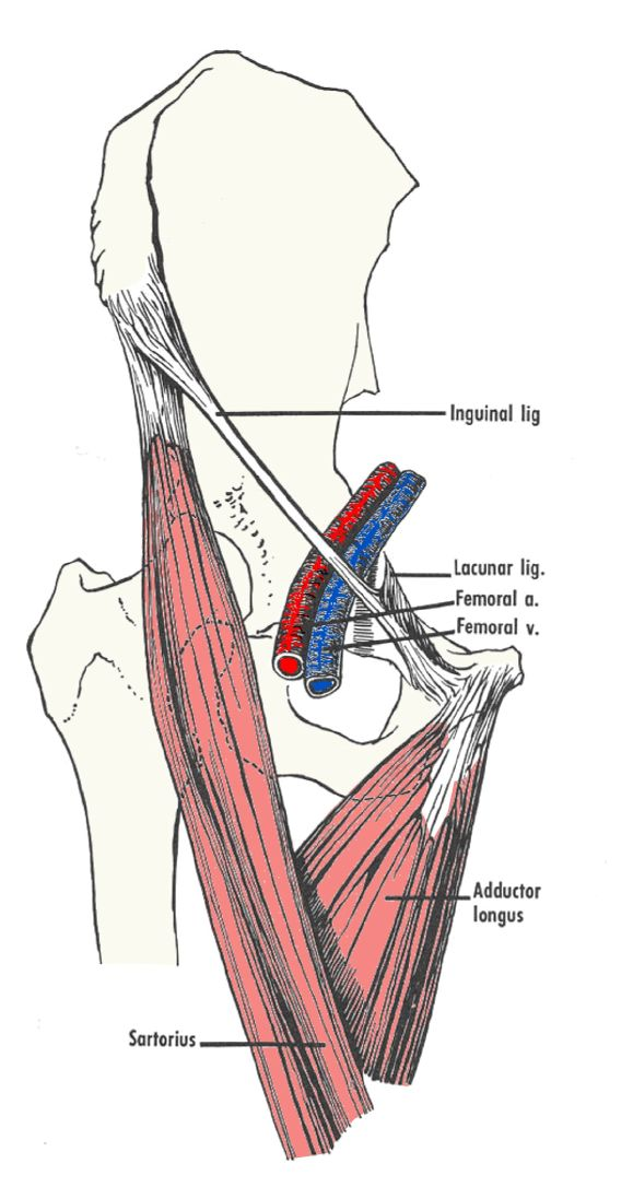 Figure_2_femoral_triangle